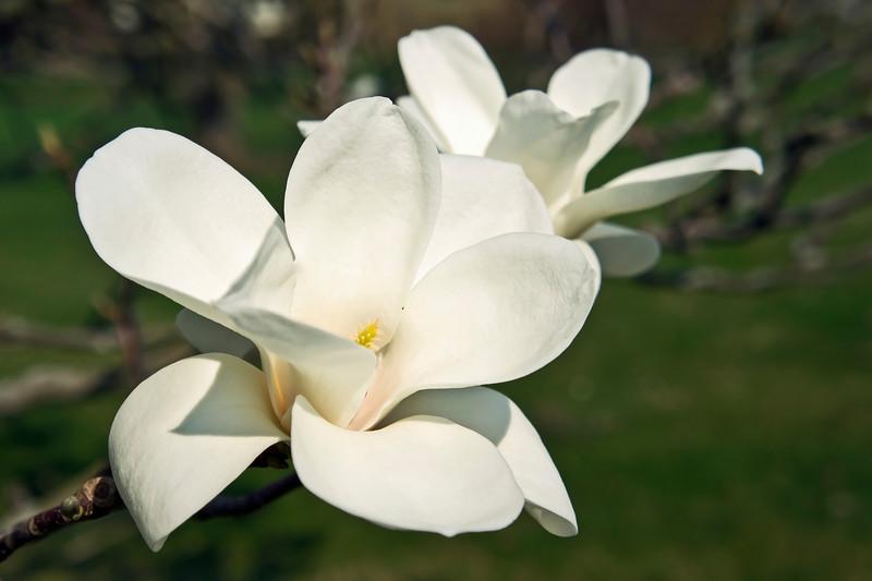 Magnoliaceae 06 26-2012<br /> Yulan Magnolia, Magnolia denudata<br /> <br /> Hidden Lake Gardens,<br /> March 22, 2012<br /> (nex-5)