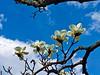 Exquisite Yulan Magnolia Blossoms