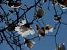 Magnoliaceae 02 06<br /> Star magnolia.  (Magnolia stellata).  Native to Japan.<br /> <br /> Isolation<br /> <br /> April 17, 2009<br /> NW Ohio