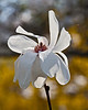 Mo4 Merrill magnolia
