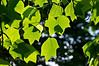 Magnoliaceae 31 28 Tulip Tree foliage<br /> Young leaves of a tulip tree, backlit by late afternoon sun.<br /> You can get a sense of the variation in leaf shape, especially in the number of distinct lobes, for tulip tree leaves in this shot.<br /> <br /> Forest Hill Cemetery, Ann Arbor, Michigan<br /> May 29, 2012<br /> (nex5n)