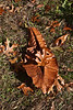 Magnoliaceae 01 03 - Bigleaf Magnolia<br /> <br /> Magnolia macrophylla; Family:  Magnoliaceae<br /> Native to:  United States and Mexico<br /> <br /> This shows you just how big are the leaves of the bigleaf magnolia.  A standard sized oak leaf is maybe 6-8 inches long, not counting the stem.  The magnolia leaf dwarfs it!<br /> <br /> Nichols Arboretum, Ann Arbor, Michigan<br /> November 1, 2011