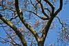 M03 Saucer magnolia