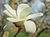 Yulan magnolia
