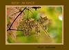 Acer 02a 00<br /> <br /> Red Maple leaves <br /> Acer rubrum<br /> Family:  Aceraceae