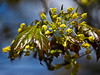 Acer 03b 15<br /> Showing a fully opened blossom, and some still to open.<br /> <br /> Schwedler Maple (Acer platanoides 'Schwedleri'), Aceraceae. <br /> Nichols Arboretum, Ann Arbor<br /> April 17, 2012