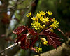 Schwedler maple with new leaves and blossoms