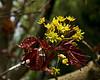 Acer 03b 25<br /> <br /> Schwedler Maple (Acer platanoides 'Schwedleri'), Aceraceae. <br /> Nichols Arboretum, Ann Arbor<br /> April 17, 2012