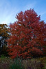 Acer 02c 13<br /> <br /> Red Maple 'Red Sunset'<br /> Acer rubrum 'Red Sunset'<br /> Family:  Aceraceae<br /> <br /> Kettlehole Trail, Hidden Lake Gardens<br /> Lenawee County, Michigan<br /> October 28, 2011