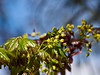 Acer 03b 13<br /> <br /> Schwedler Maple (Acer platanoides 'Schwedleri'), Aceraceae. <br /> Some of the new leaves are much darker magenta than others.<br /> <br /> Nichols Arboretum, Ann Arbor<br /> April 17, 2012<br /> (nex5n)