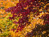 'Autumn Flame' Acer rubrum against a golden background