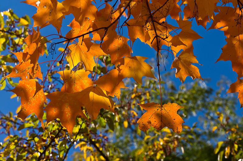 Acer 01a 15<br /> <br /> D273-2012 Backlit leaves of sugar maple.<br /> .<br /> Hidden Lake Gardens, Lenawee County Michigan.<br /> September 30, 2012.