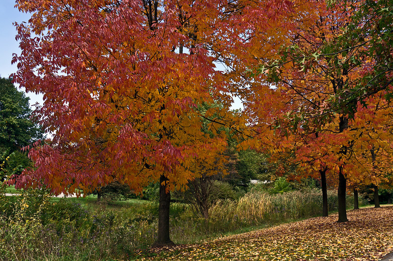 D277-2012 Ash trees in autumn<br /> .<br /> Toledo Botanical Garden, Ohio<br /> October 4, 2012