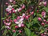 Malus sp. Specimen 4<br /> 2018 D124 HLG<br /> Crabapple<br /> First potted ~2001; est. age then 4 years<br /> <br /> D124-2018<br /> <br /> Bonsai display<br /> Hidden Lake Gardens, Michigan<br /> Taken May 4, 2018