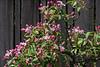 Crabapple bonsai in bloom