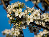 Basic blossom shot - Callery pear