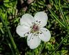 Single fallen blossom - Ornamental pear tree blooms