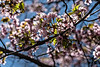 Pink blooms of a Sargent cherry.