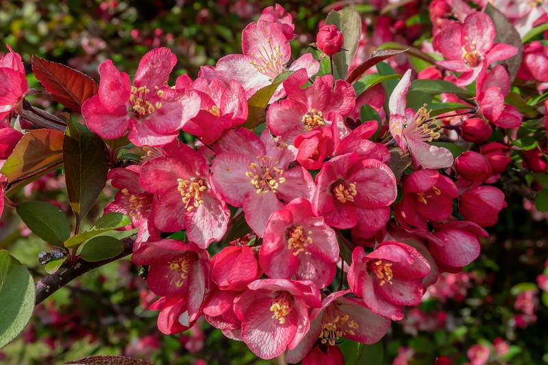 Crabapples in bloom along the arboretum drive