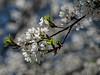 Cherry blossoms loving the sun