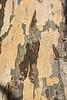 D318-2013  Sycamore bark detail<br /> <br /> Pond area, Matthaei Botanical Gardens, Ann Arbor<br /> November 14, 2013