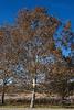 D318-2013  Sycamore with dried foliage<br /> <br /> Pond area, Matthaei Botanical Gardens, Ann Arbor<br /> November 14, 2013