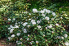 D137-2013 White rhodendron<br /> .<br /> Nichols Arboretum, Ann Arbor, Michigan<br /> May 17, 2013
