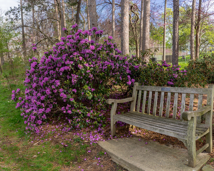 'Haughty Pink' rhododendron