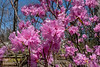 Early rhododendrons