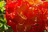 'Klondyke' rhododendron