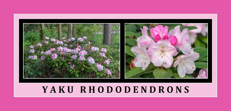 Yaku rhododenrons along the Laurel Ridge Trail