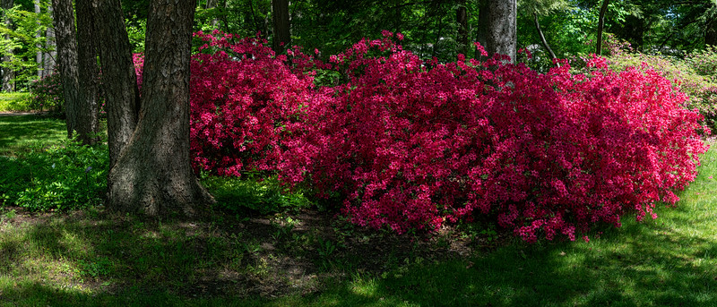 Rhododendrons in the woods (photomerge)
