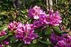 D137-2013  Unlabeled rhododendron, Laurel Ridge Trail<br /> .<br /> Nichols Arboretum, Ann Arbor, Michigan<br /> May 17, 2013