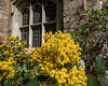 Mahonia in the Hutchins Hall Courtyard