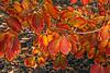 Witch Hazel in autumn