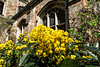 Mahonia in the Hutchins Hall Courtyard (sc 2018-5-19)