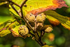 Autumn seed time - witch hazel pods