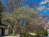 Serviceberry tree just beginning to bloom