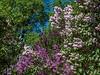Lilac Grove at the Arboretum
