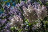 Lilac blooms galore