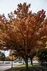 D308-2013  Unidentified tree<br /> <br /> Corner of Geddes Avenue and Washtenaw Avenue.<br /> <br /> Central Campus, University of Michigan, Ann Arbor.<br /> November 4, 2013