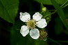 Blackberry blossoms<br /> <br /> Cobblers Knob, Hidden Lake Gardens, Michigan<br /> May 29, 2012<br /> (nex5n)
