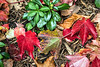 Fallen leaves of Boston ivy (red) among still green pachysandra