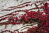 Boston Ivy flaming red