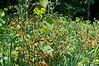 Orange fungus on blackberry leaves