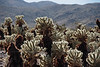Cholla at Joshua Tree NP