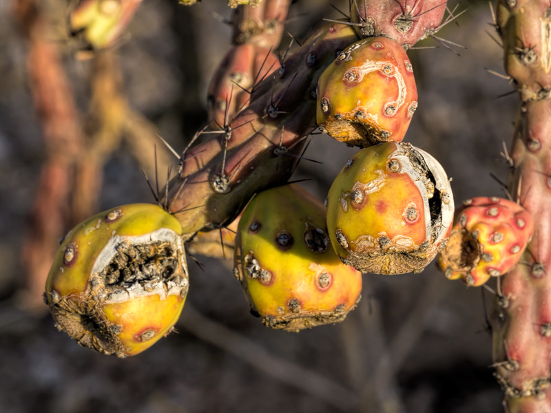 Fruiting cholla, staghorn or buckhorn
