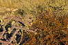Desert mistletoe and staghorn cholla