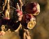 Cholla fruit