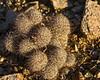 Mammillaria cactus with red fruit